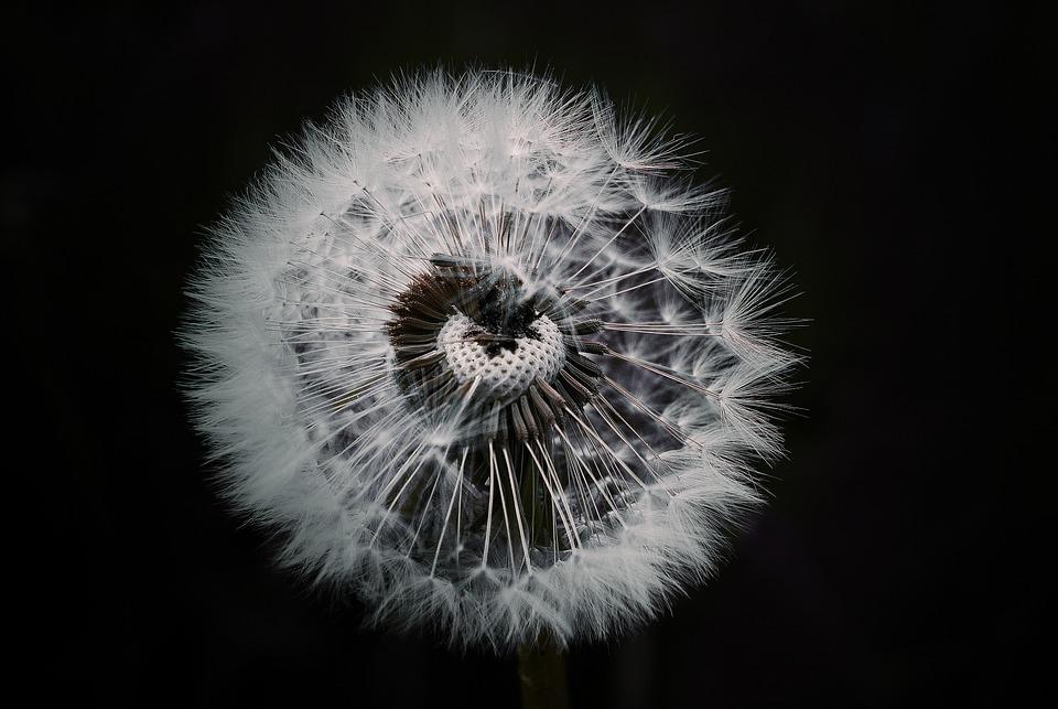 Dandelion, Flower, Plant, Pointed Flower, Nature, Close