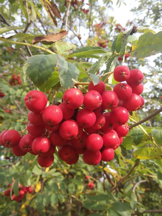 Rowanberries, Plant, Close, Berry Red