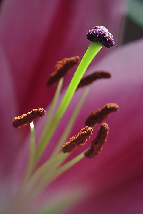 Lily, Flowers, Pistil, Botany, Plant, Close Up, Stamen