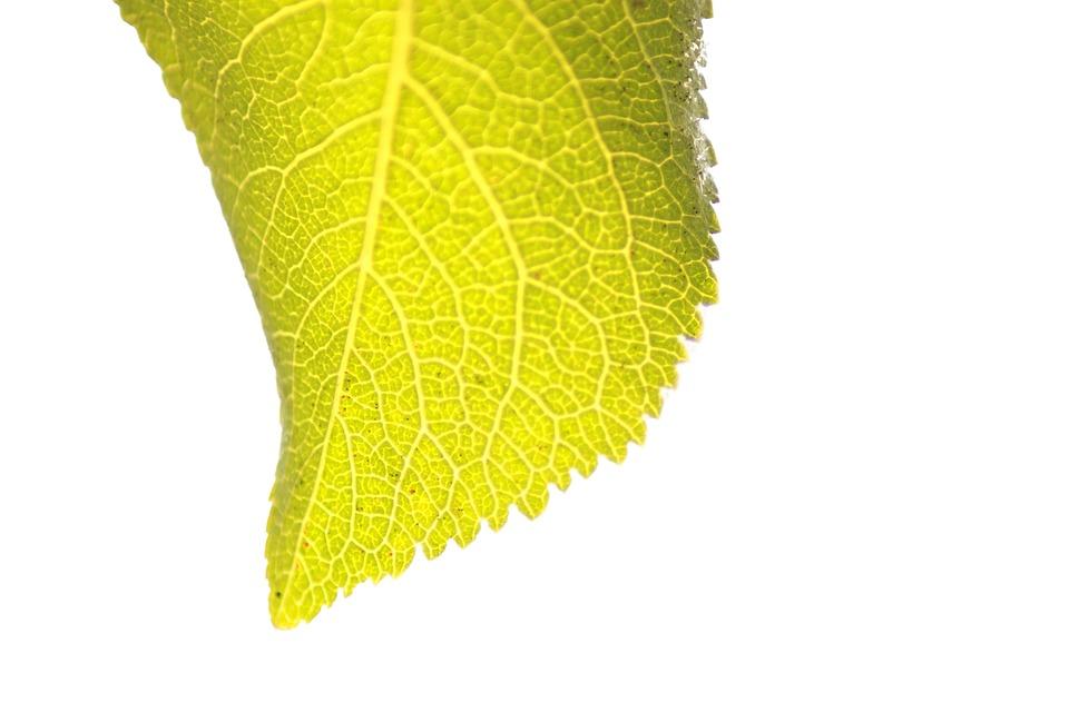 Leaf, Leaves, Green, Macro, Closeup, Natural, Plant