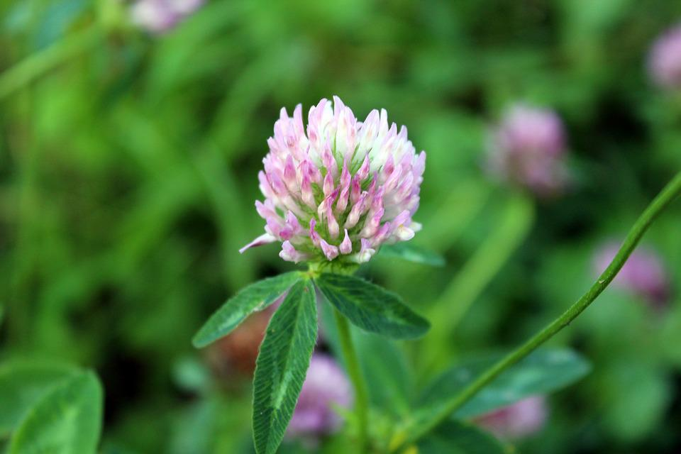 Free photo plant clover a flower of the field nature meadow max pixel plant clover meadow nature a flower of the field mightylinksfo