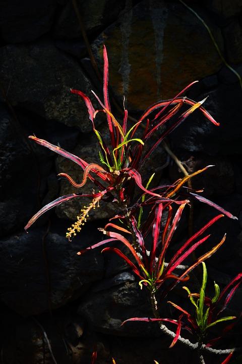 Croton, Plant, Tropical, Exotic, Codiaeum Variegatum