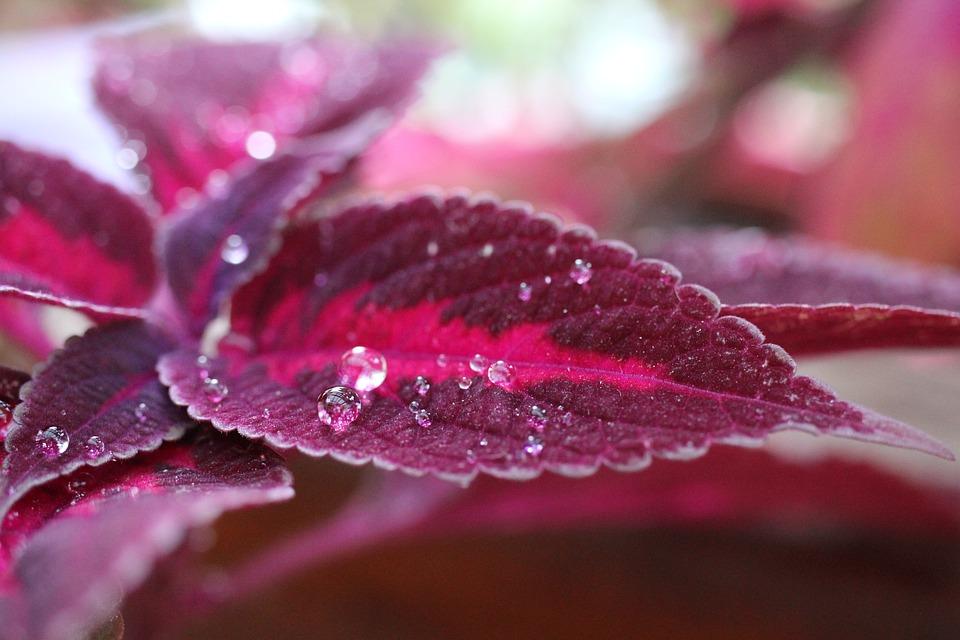 Plant, Colorful Nettle, Dewdrop, Natural Garden, Leaf