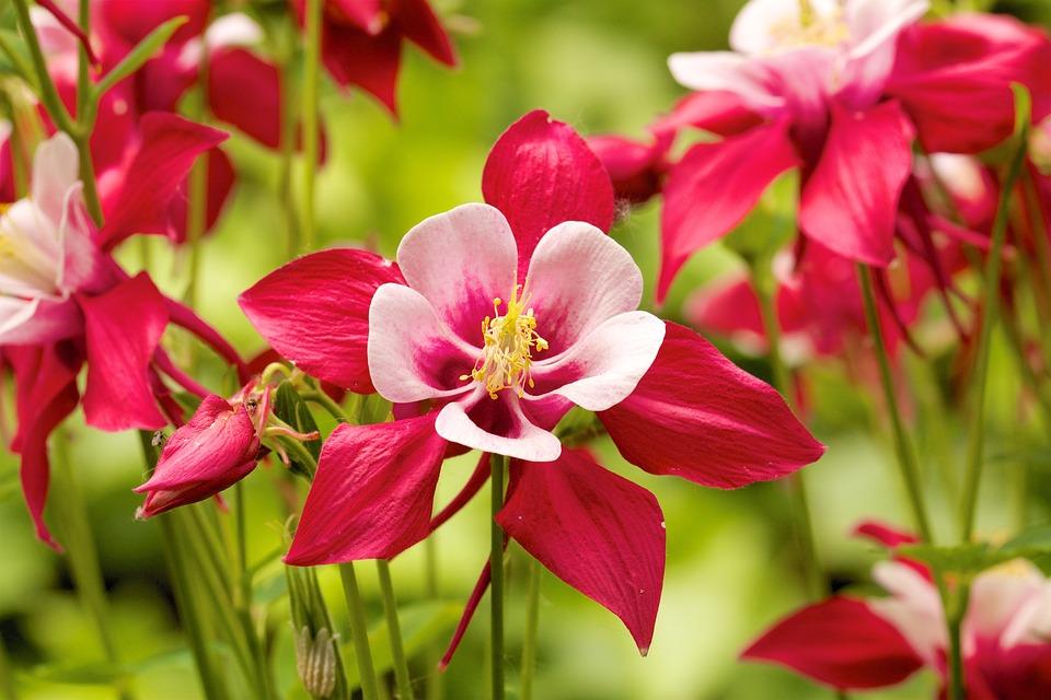 Columbine, Red, Garden, Plant, Blossom, Bloom, Nature
