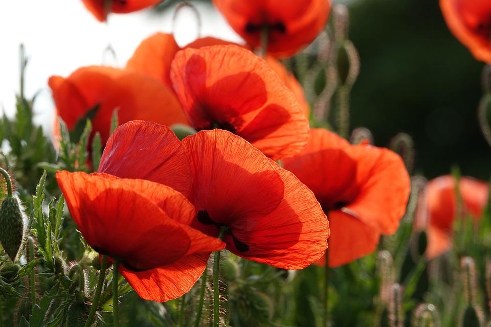 Poppy, Flowers, Plant, Common Poppy, Red Poppy
