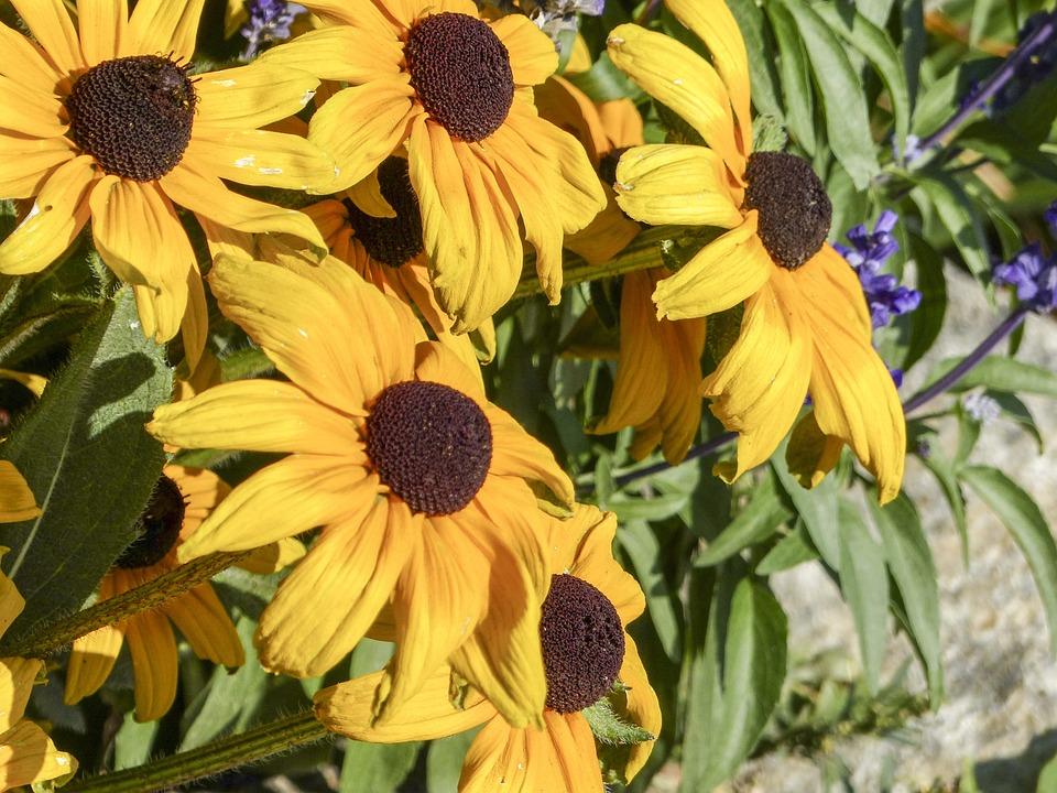 Cone Flower, Sunflower, Plant, Nature, Yellow, Macro