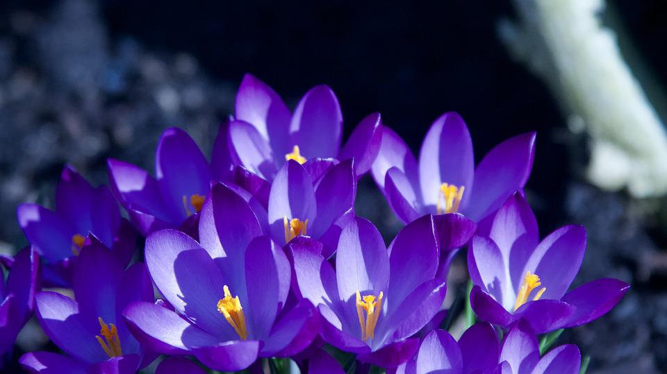 nature flower plant color garden crocus blue