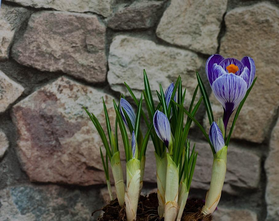 Crocus, Plant, Flowers, Natural Stone
