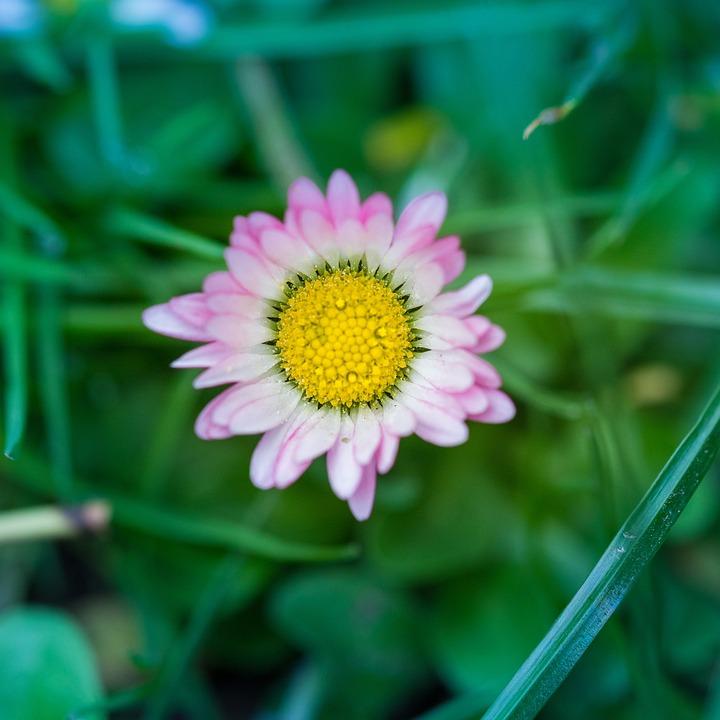 Nature, Pink, Daisy, Plant, Garden, Purple, Spring