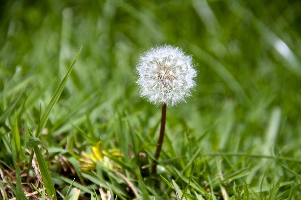 Dandelion, Hawkbit, Floral, Plant, Natural, Blossom