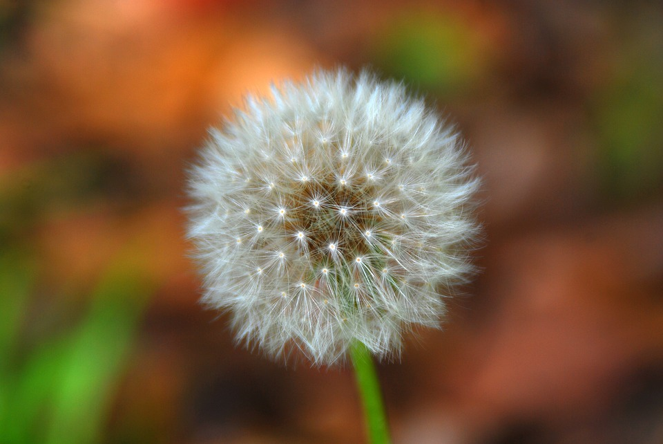Free photo plant dandelion floral flower nature garden white max pixel dandelion flower white nature plant garden floral mightylinksfo
