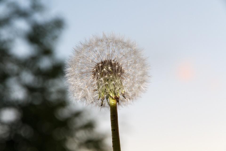 Flower, Plant, Dandelion