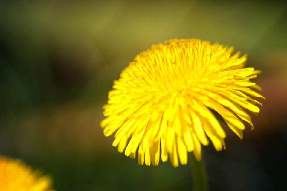 Nature, Dandelion, Plant, Flower, Summer, Close, Macro