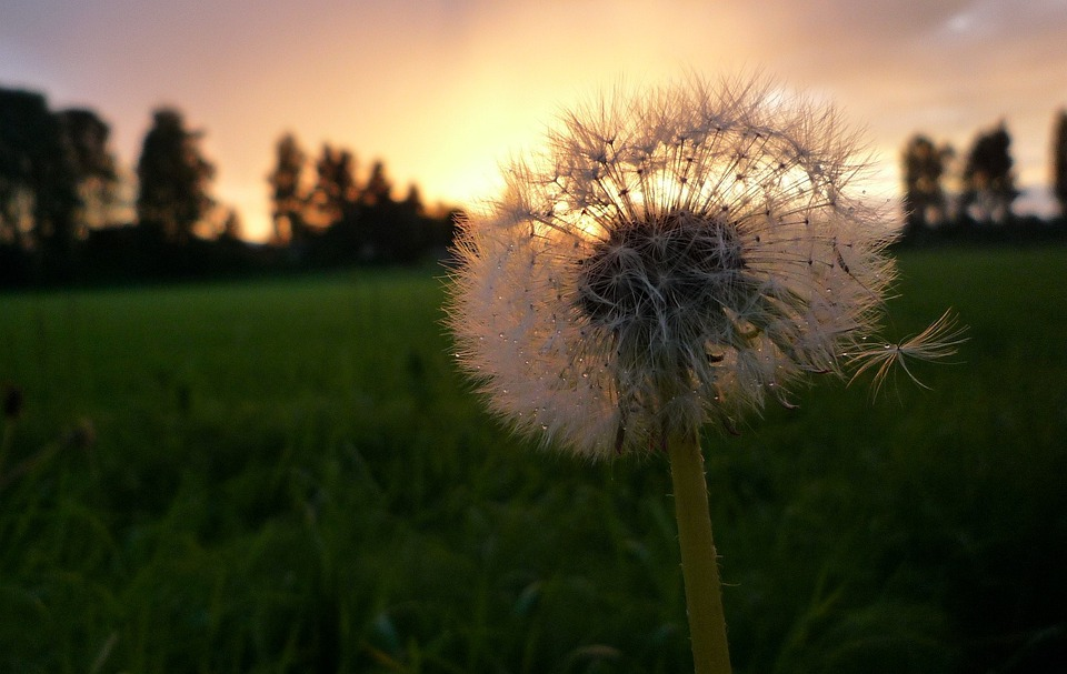 Dandelion, Overblown, Plant, Backlight, Nature, Flora