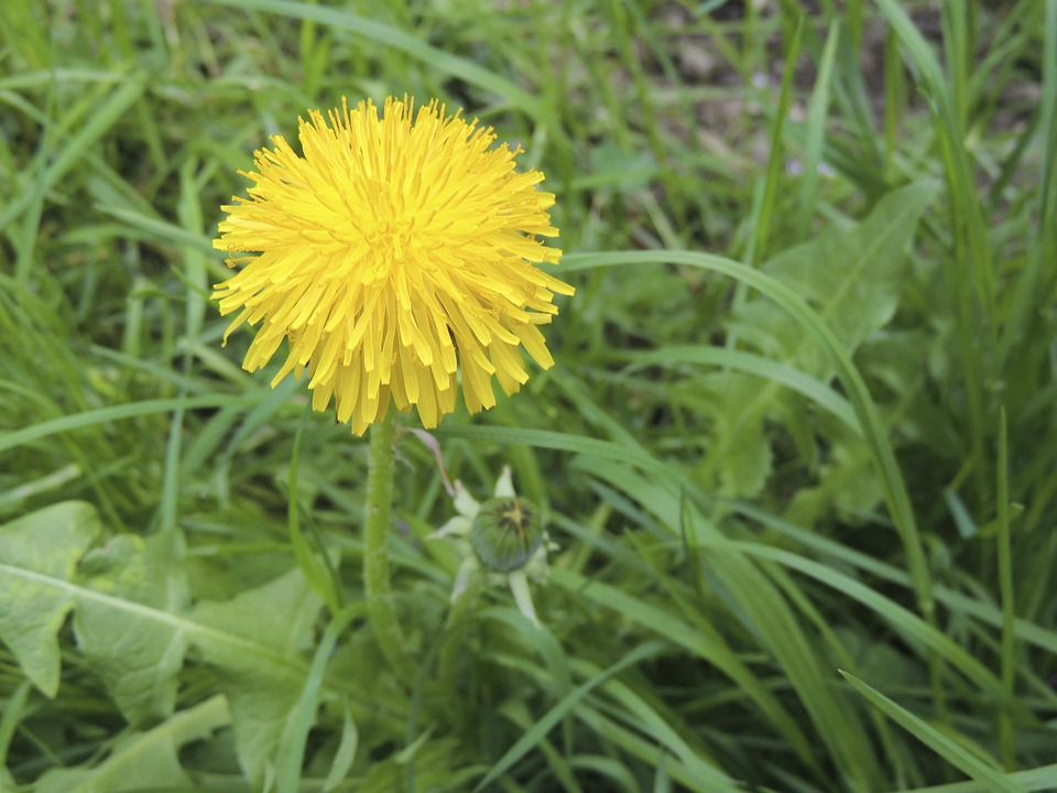 Blossom, Bloom, Yellow, Dandelion, Plant, Grass, Meadow