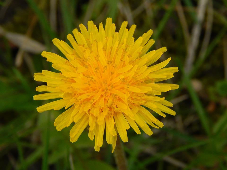 Dandelion, Yellow, Grass, Plant, Spring, Dandelions