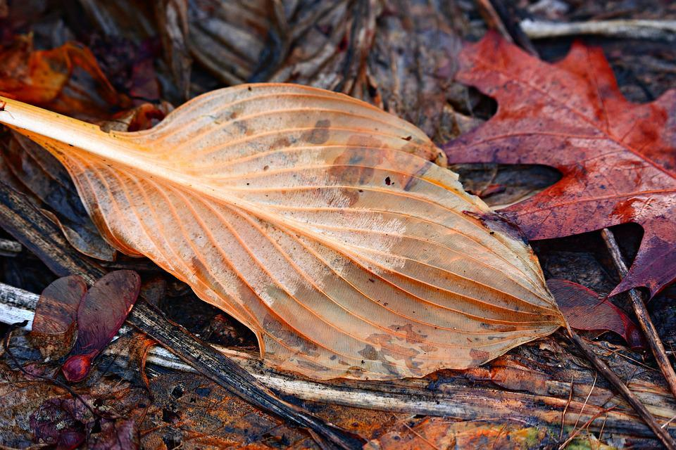 Hosta Leaf, Plant, Dead, Autumn Color, Autumn, Vein