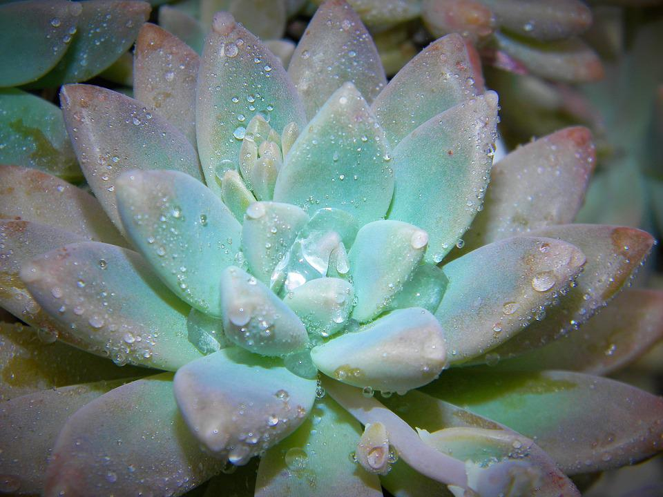Succulent, Plant, Nature, Green, Garden, Decoration