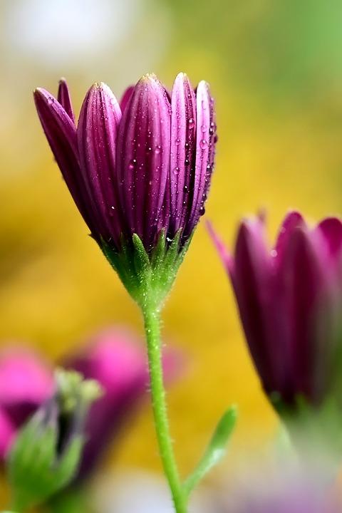 Marguerite Daisy, Flower, Plant, Petals, Dew, Dewdrops