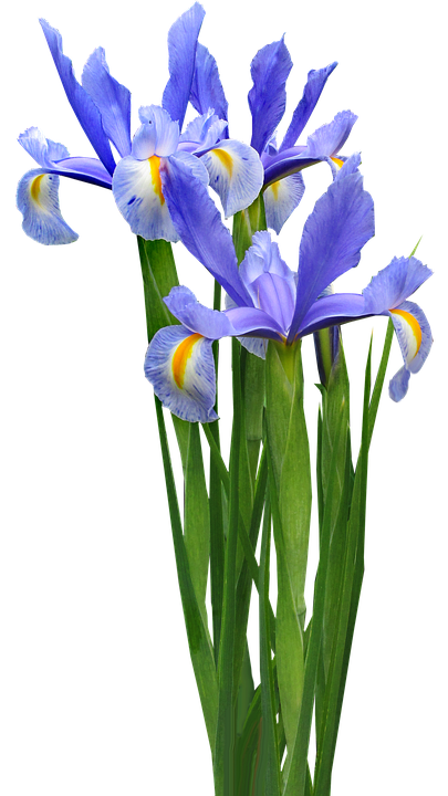 Dutch Iris, Plant, Bulb, Flower, Garden