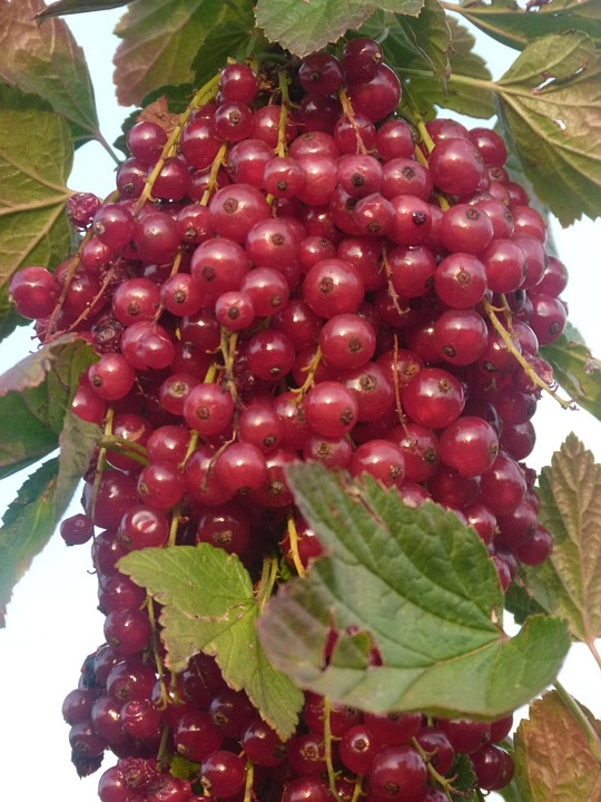 Currants, Fruit, Plant, Sour, Sweet, Red, Healthy, Eat