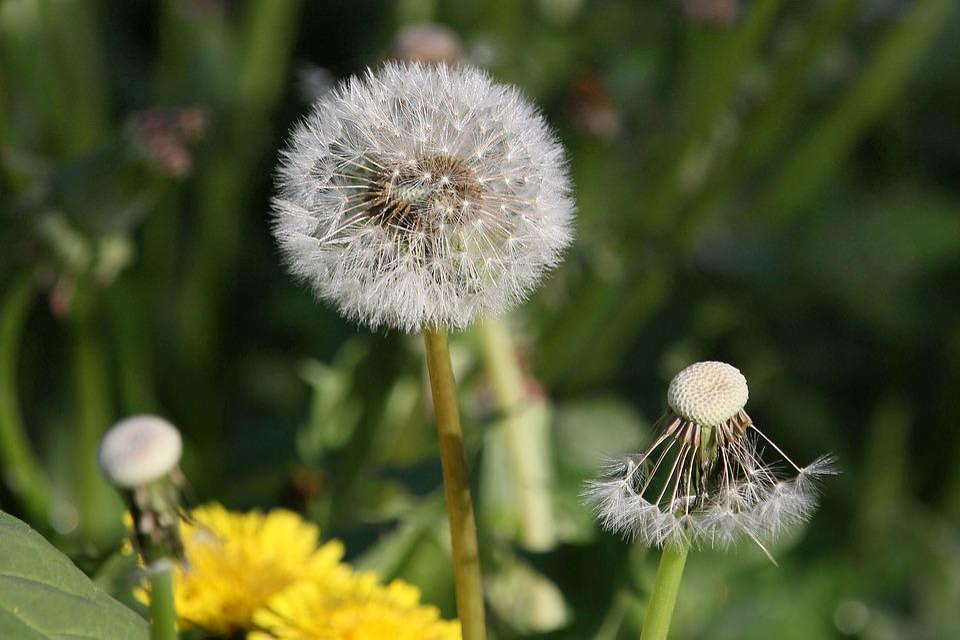 Dandelion, Seeds, Close, Flower, Faded, Nature, Plant