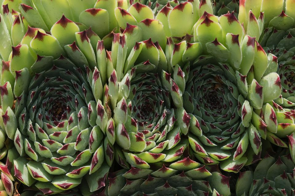 Plant, Fat, Houseleek