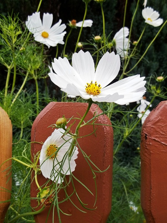 Flowers, White, Fence, Plant, Nature, Summer