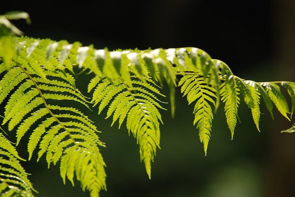Green Leaf, Plant, Fern