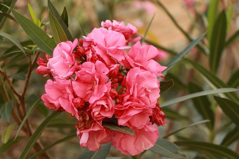 Flower, Rosa, Plant, Flora, Spring, Summer, Caruaru