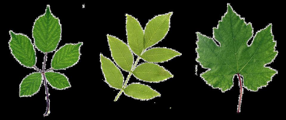 Green, Leaf, Leaves, Branch, Plant, Flower, Flora