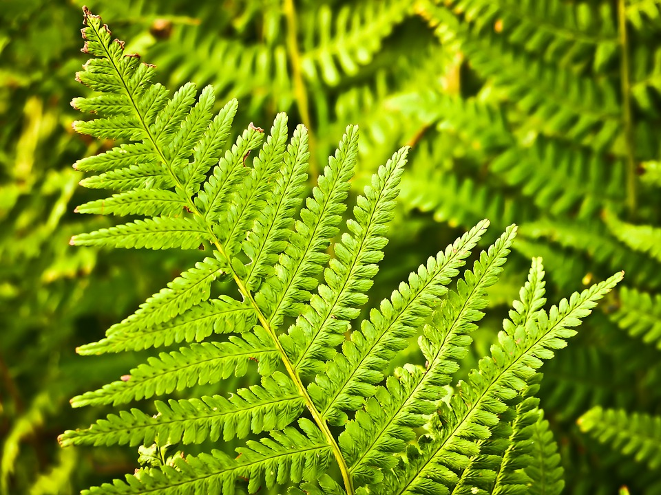 Fern, Nature, Green, Plant, Forest, Leaves, Flora