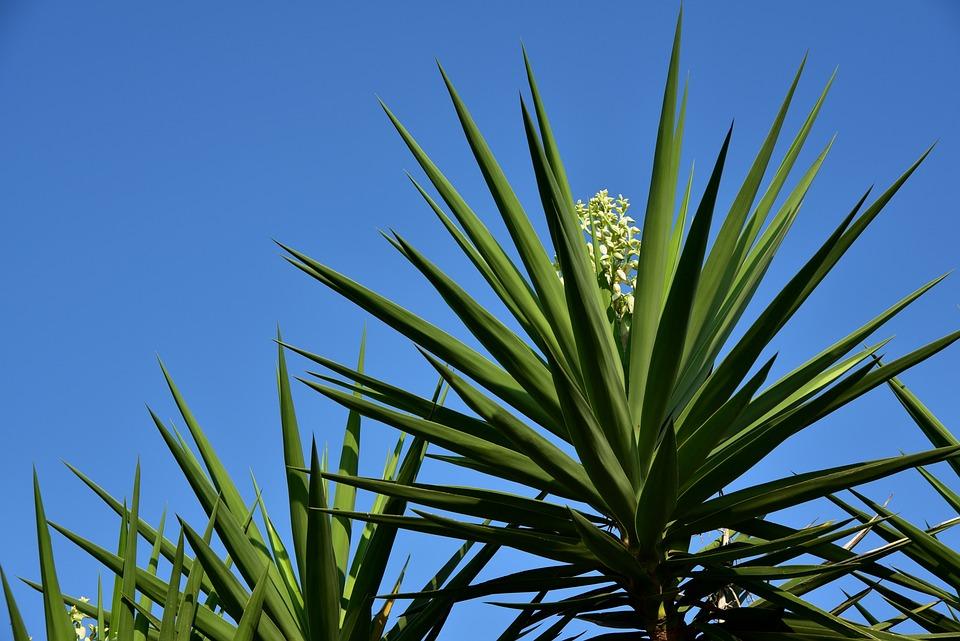 Yucca, Palm, Plant, Flora, Blossom, Bloom, White