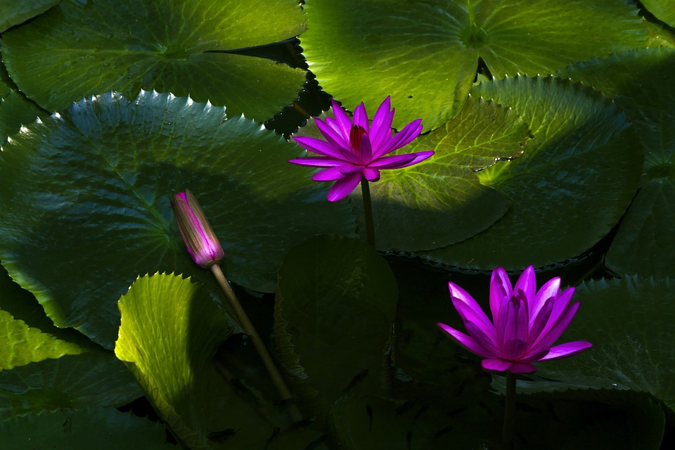 Lotus Flower, Water Lily, Plant, Aquatic, Floral