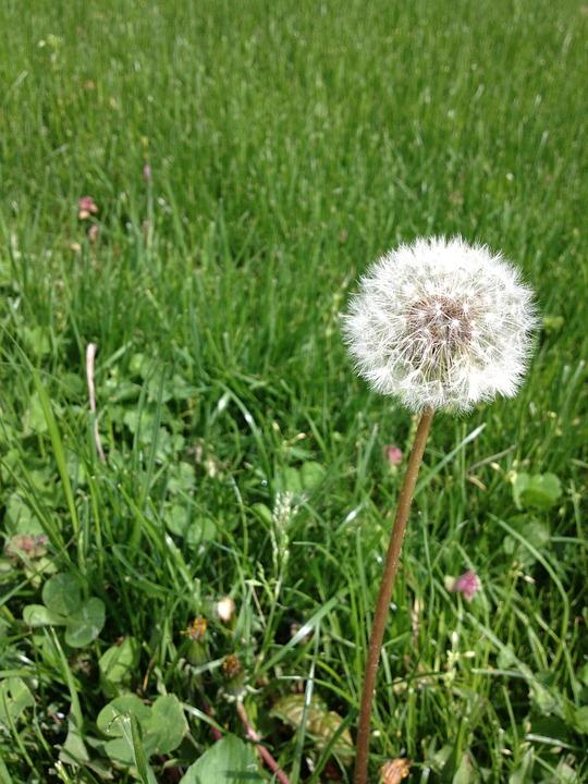 Dandelion, Flower, Wildflower, Floral, Plant, Natural