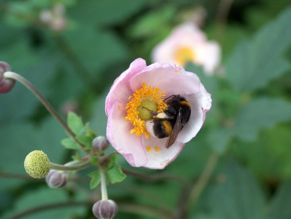 Flower, Plant, Blossom, Bloom, Summer, Garden, Hummel