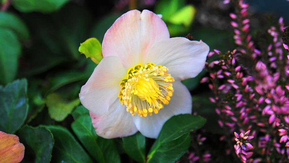 Christmas Rose, Blossom, Bloom, Plant, Flower, Nature
