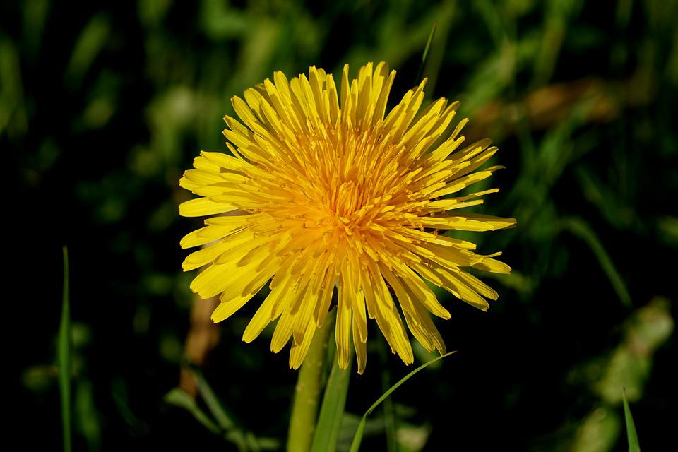 Dandelion, Nature, Flower, Plant, Summer, Blossom