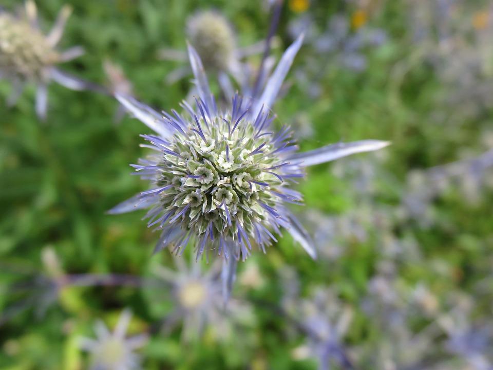Eryngium, Bloom, Flower, Blue, Sea Holly, Plant