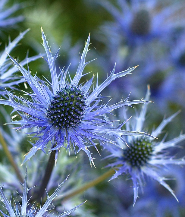 Sea Holly Flower, Eryngium, Plant, Flower, Blue, Spiky