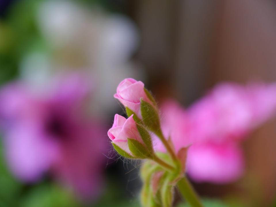 Plant, Flower Buds, Flora