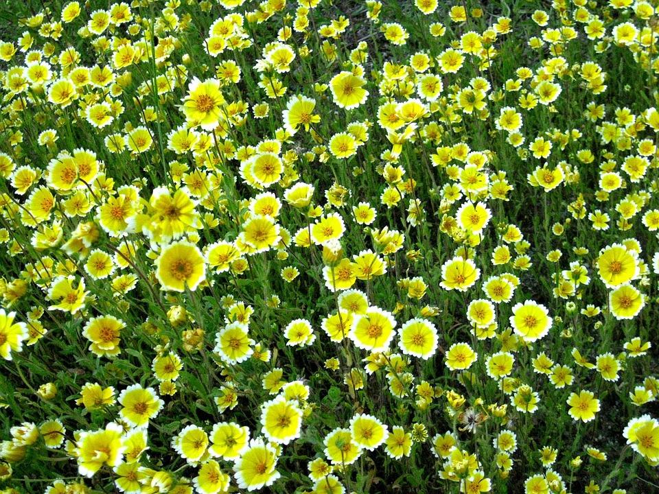 Wildflower, Flower, Bloom, California, Native, Plant