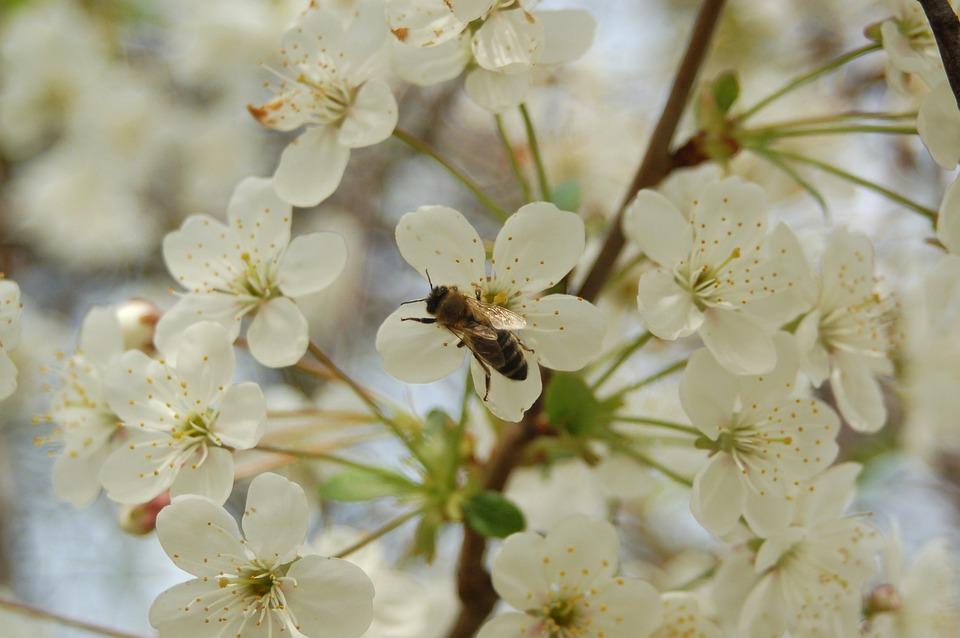 Flower, Cherry, Plant, Branch, Nature, Petal, Closeup