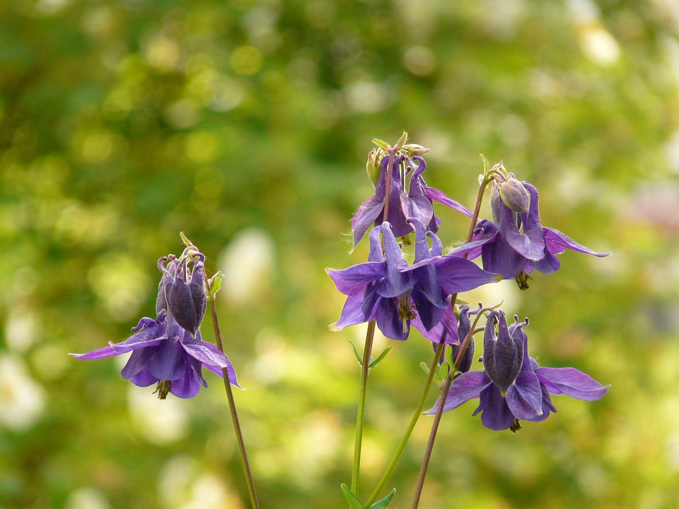 Common Akelei, Columbine, Flower, Blossom, Bloom, Plant