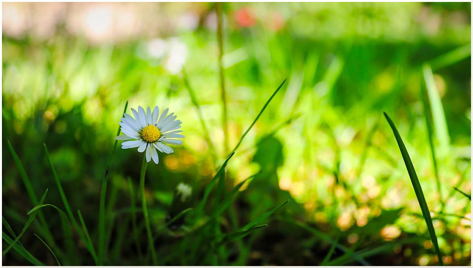 Daisy, Flower, Meadow, Flower Meadow, Plant, Blossom