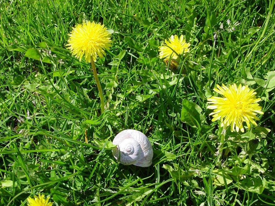 Dandelion, Snail, Meadow, Plant, Flower, Blossom, Bloom