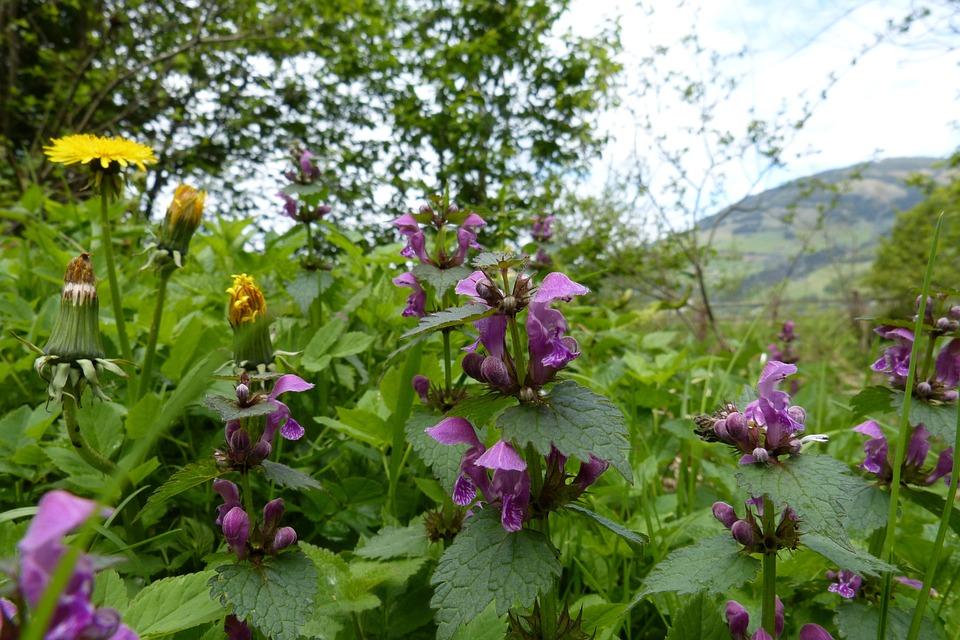 Dead Nettle, Spring, Edge Of The Woods, Flower, Plant