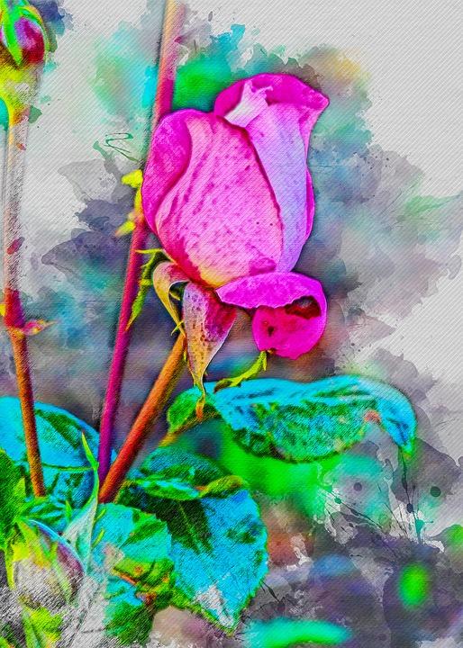 Rose, Flower, Patagonia, Rosa, Plant, Summer, Flowering