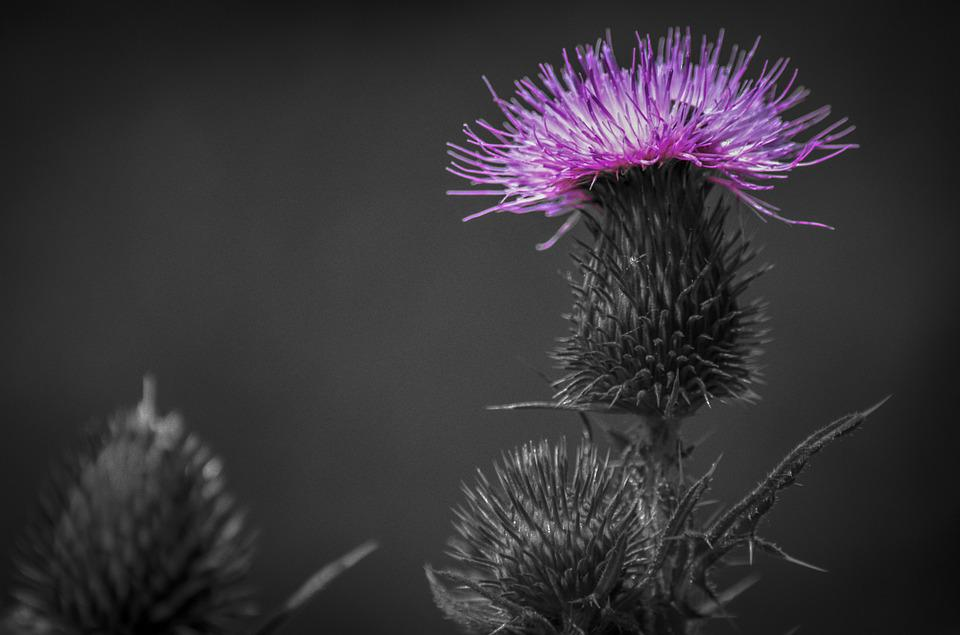 Thistle, Herb, Plant, Natural, Flower Flowers, Nature