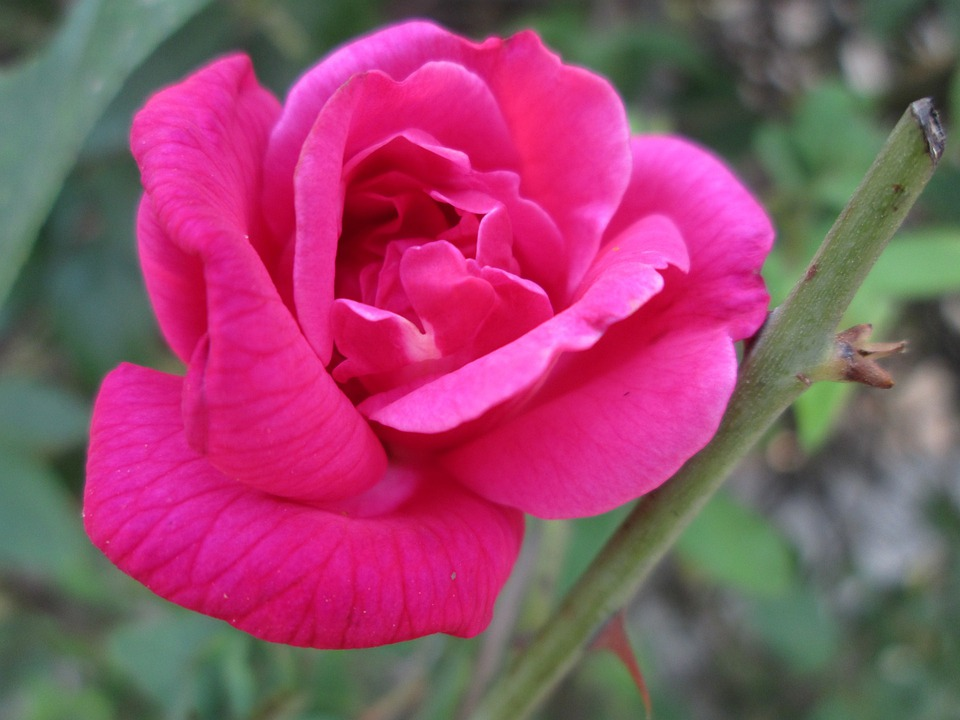 Plant, Flower, Red, Park, Garden, Chinese Rose